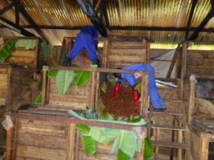 カカオ豆の発酵